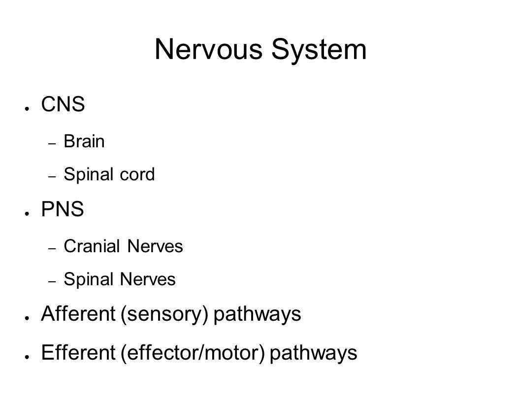 Nervous System CNS – Brain – Spinal cord PNS – Cranial Nerves – Spinal Nerves Afferent (sensory) pathways Efferent (effector/motor) pathways