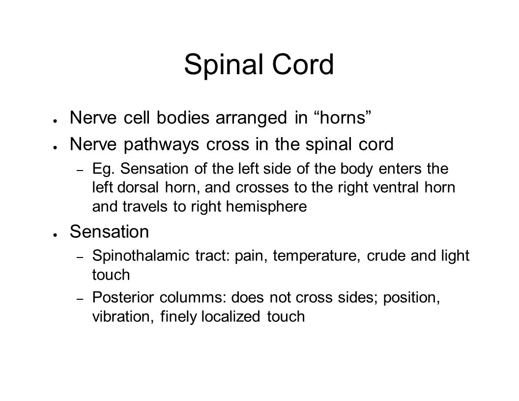 Spinal Cord Nerve cell bodies arranged in horns Nerve pathways cross in the spinal cord – Eg. Sensation of the left side of the body enters the left d