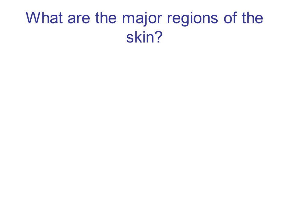 What is Langerhans cells?