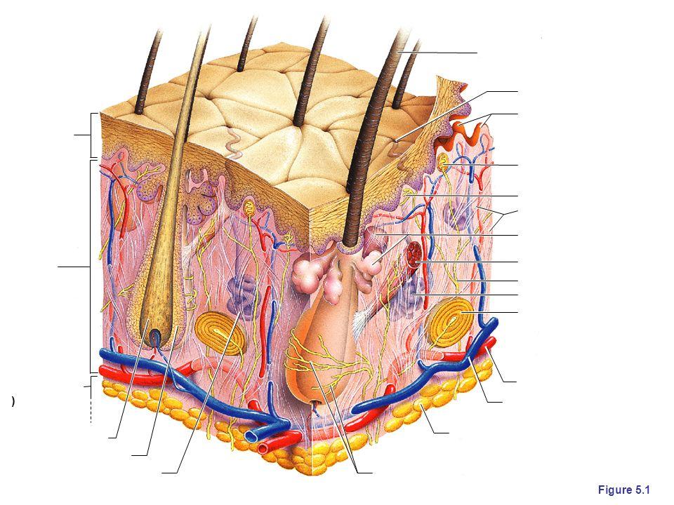 Epidermis Dermis Hypodermis (superficial fascia) Hair root Hair shaft Pore Dermal papillae (papillary layer of dermis) Meissner s corpuscle Free nerve ending Reticular layer of dermis Sebaceous (oil) gland Arrector pili muscle Sensory nerve fiber Eccrine sweat gland Pacinian corpuscle Artery Vein Adipose tissue Hair follicle receptor (root hair plexus) Hair follicle Eccrine sweat gland