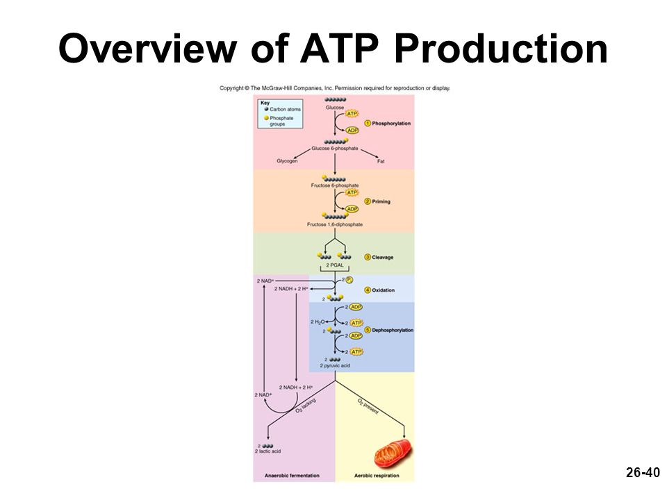 26-40 Overview of ATP Production