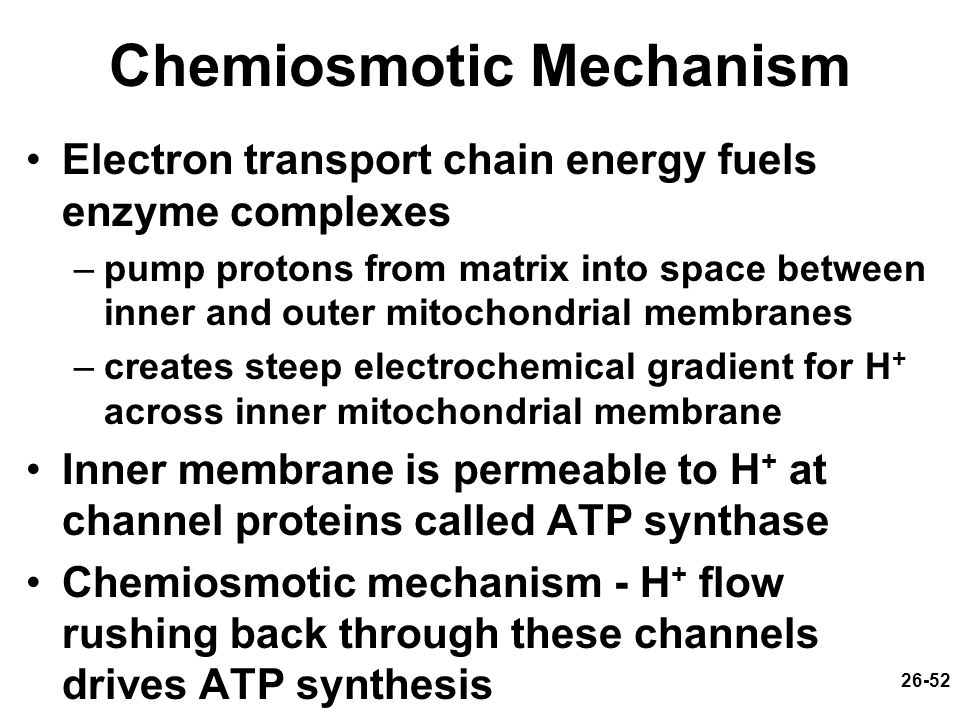 26-52 Chemiosmotic Mechanism Electron transport chain energy fuels enzyme complexes –pump protons from matrix into space between inner and outer mitoc