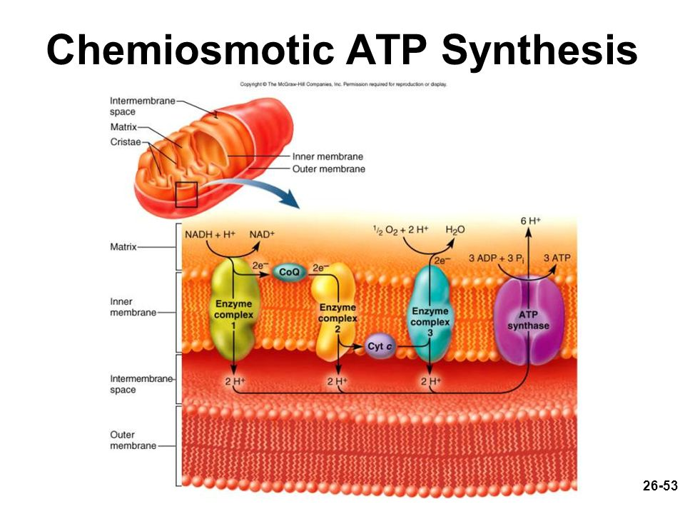 26-53 Chemiosmotic ATP Synthesis