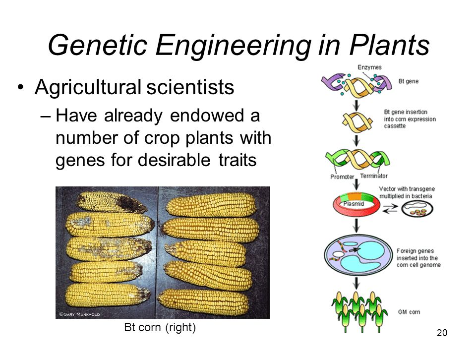 Genetic Engineering in Plants Agricultural scientists –Have already endowed a number of crop plants with genes for desirable traits Bt corn (right) 20