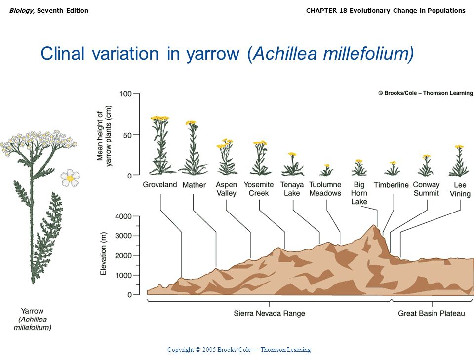 Copyright © 2005 Brooks/Cole Thomson Learning Biology, Seventh EditionCHAPTER 18 Evolutionary Change in Populations Clinal variation in yarrow (Achill