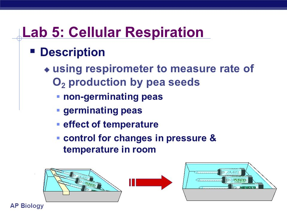AP Biology Lab 5: Cellular Respiration