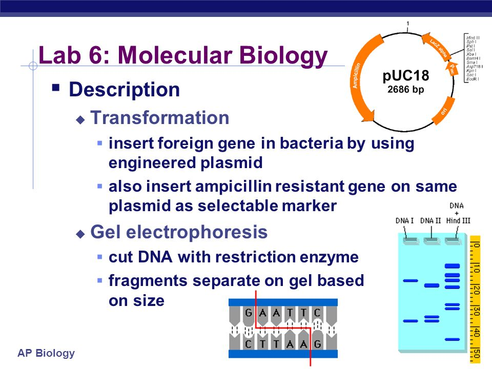 AP Biology Lab 6: Molecular Biology