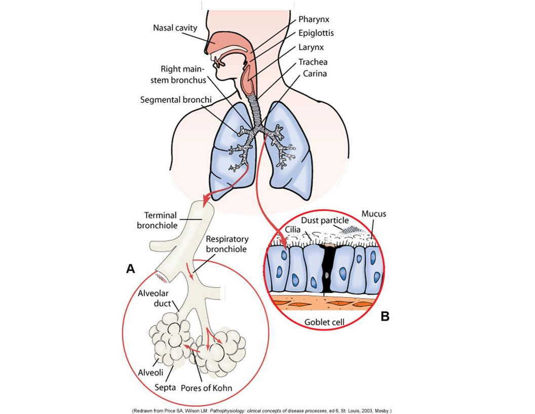 Nose to Bronchioles Lined with ciliated mucous membranes – Warm air – Mucous Traps fine particles Humidifies air – Hairs Trap particles Moves mucous outward Larynx – Contains vocal cords – Epiglottis: protect from food and moisture; cough
