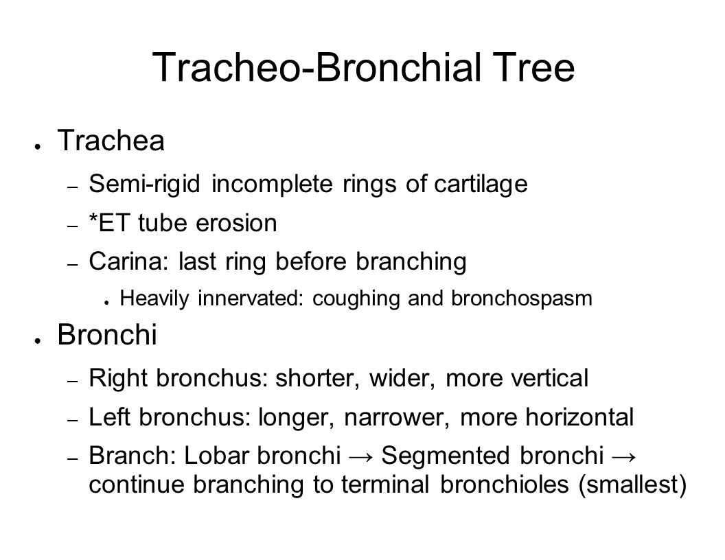 Terminal Bronchioles End in Acinus (Functional unit of the lung) – AKA primary lobule 0.5 – 1 cm diameter – Respiratory bronchiole – Alveolar ducts – Terminal alveolar sacs Grapelike clusters of alveoli – Separated by septa – Communicate via pores (of Kohn) – Membrane thinner than an RBC – ~300 million in each lung