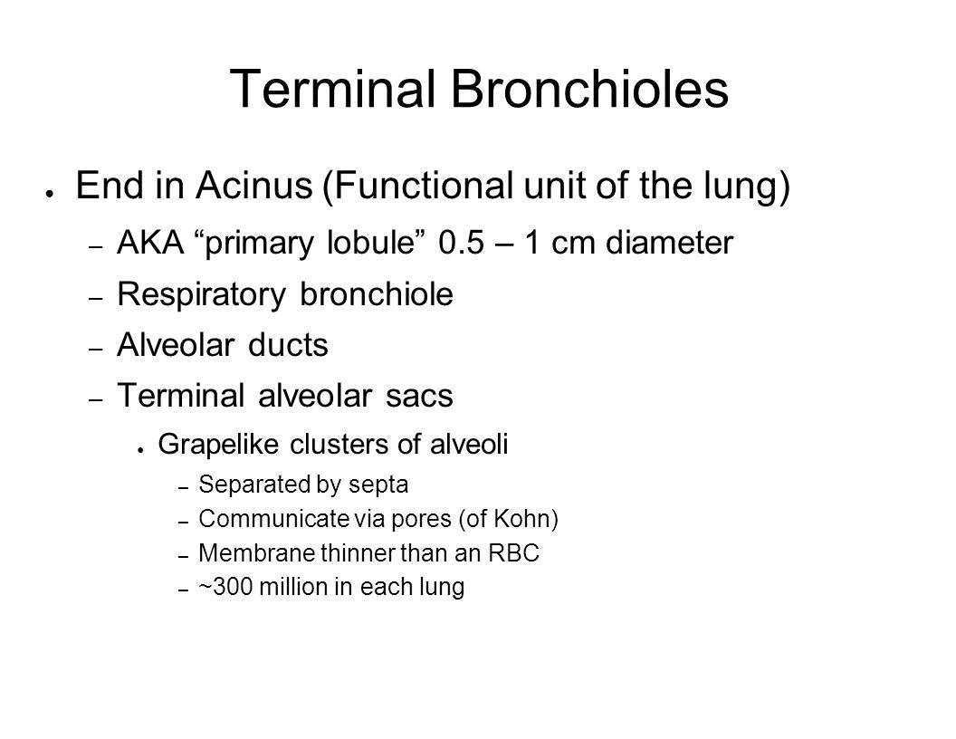 Terminal Bronchioles End in Acinus (Functional unit of the lung) – AKA primary lobule 0.5 – 1 cm diameter – Respiratory bronchiole – Alveolar ducts –