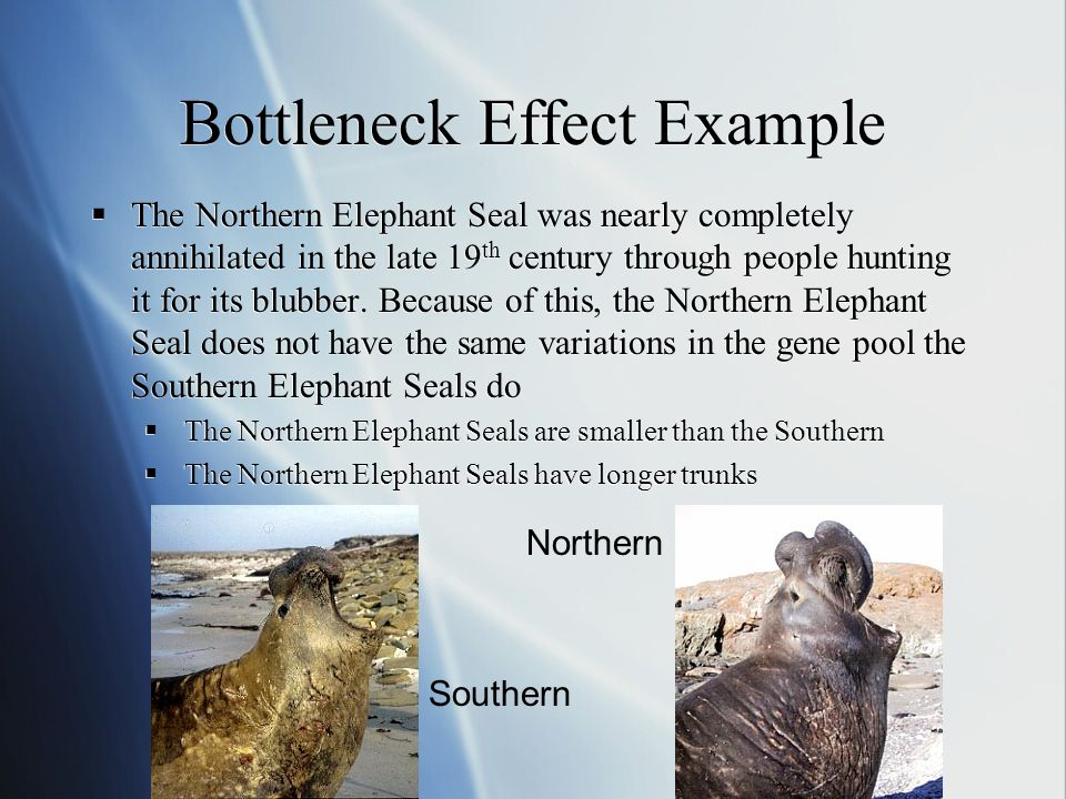 Bottleneck Effect Example The Northern Elephant Seal was nearly completely annihilated in the late 19 th century through people hunting it for its blubber.