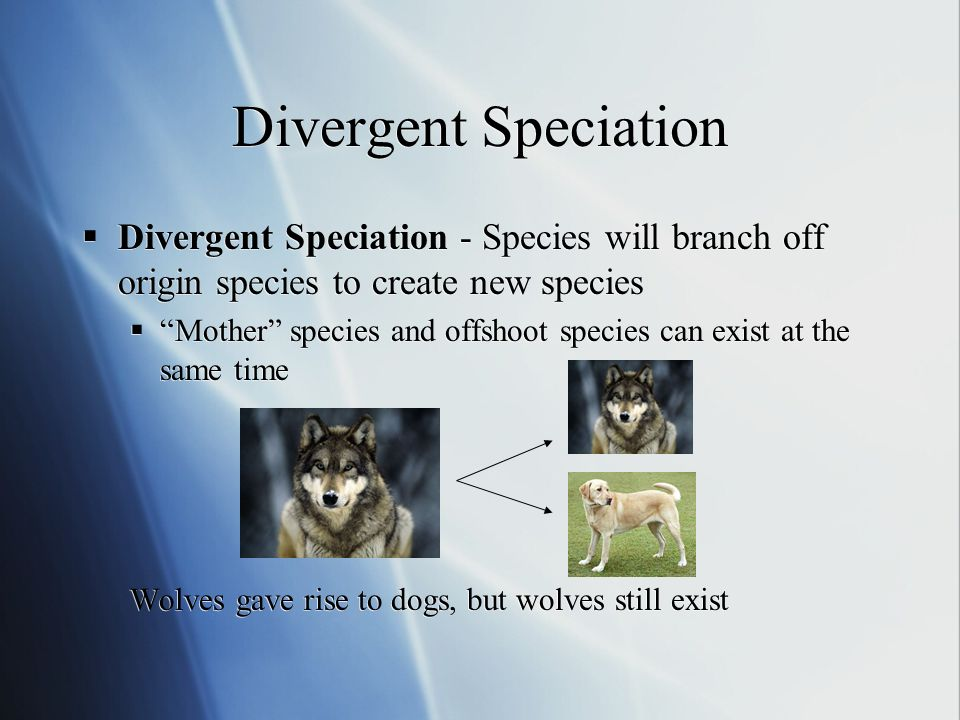 Divergent Speciation Divergent Speciation - Species will branch off origin species to create new species Mother species and offshoot species can exist at the same time Wolves gave rise to dogs, but wolves still exist Divergent Speciation - Species will branch off origin species to create new species Mother species and offshoot species can exist at the same time Wolves gave rise to dogs, but wolves still exist