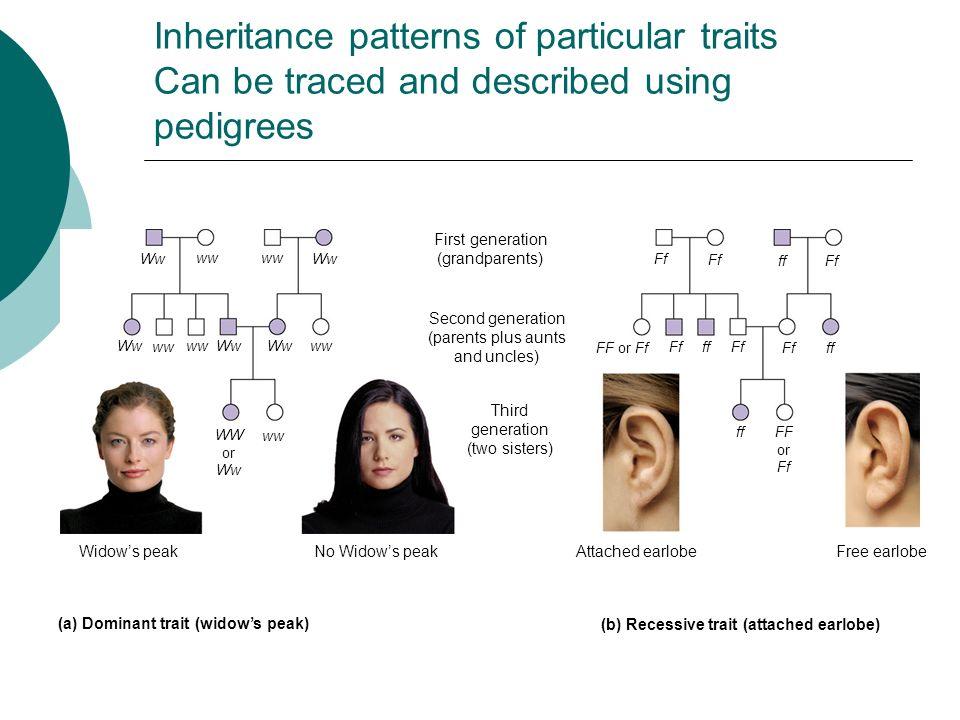 Inheritance patterns of particular traits Can be traced and described using pedigrees Ww ww Ww wwWw ww Ww WW or Ww ww First generation (grandparents)