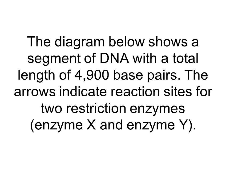 The diagram below shows a segment of DNA with a total length of 4,900 base pairs. The arrows indicate reaction sites for two restriction enzymes (enzy
