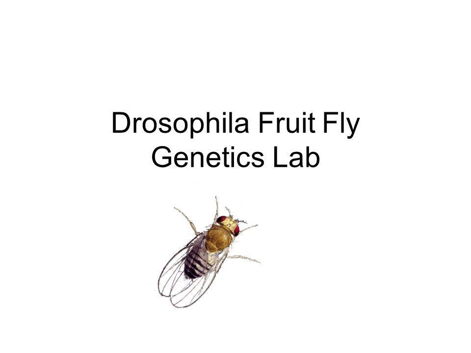 Drosophila Fruit Fly Genetics Lab