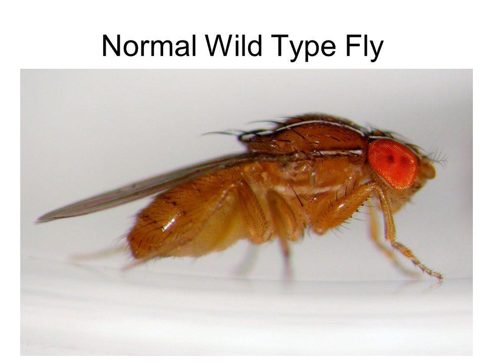 Normal Wild Type Fly