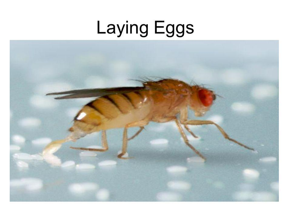 Laying Eggs