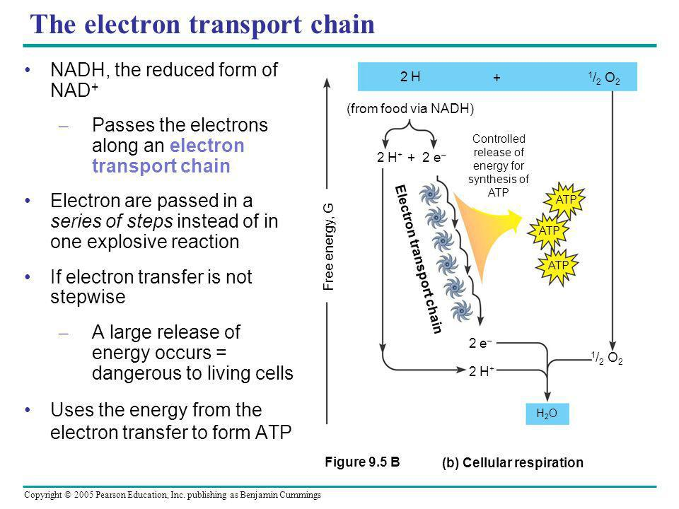 Copyright © 2005 Pearson Education, Inc. publishing as Benjamin Cummings The electron transport chain 2 H 1 / 2 O 2 (from food via NADH) 2 H + + 2 e –