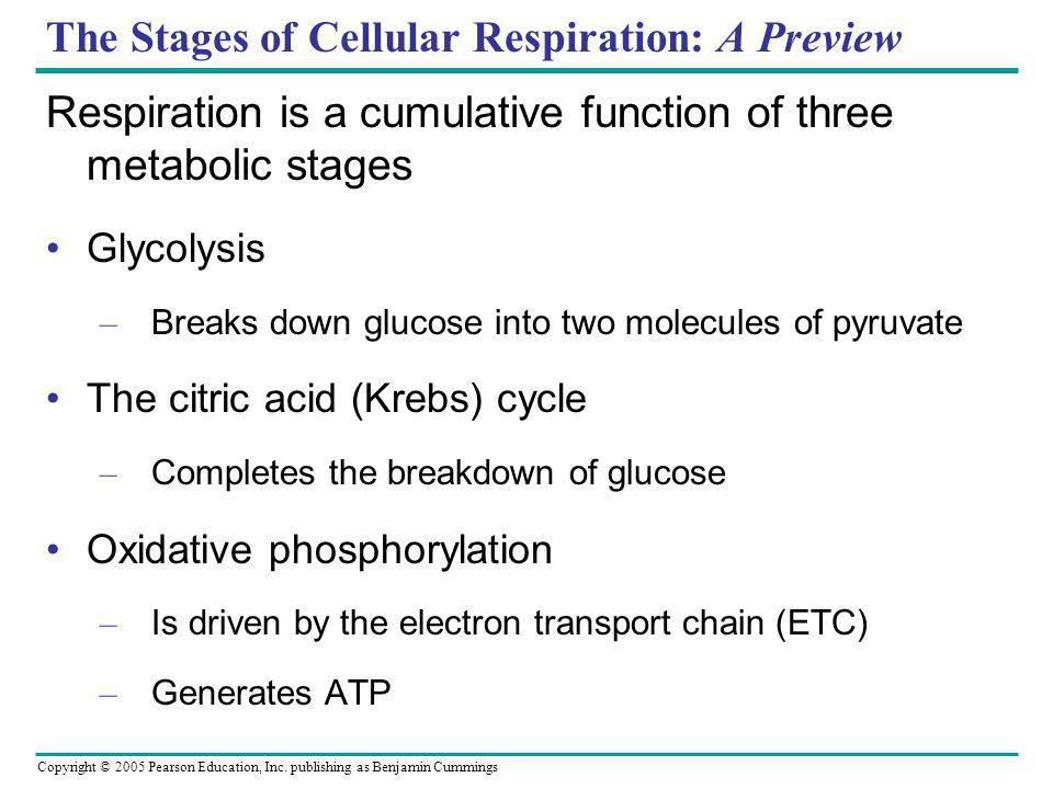 Copyright © 2005 Pearson Education, Inc. publishing as Benjamin Cummings The Stages of Cellular Respiration: A Preview Respiration is a cumulative fun