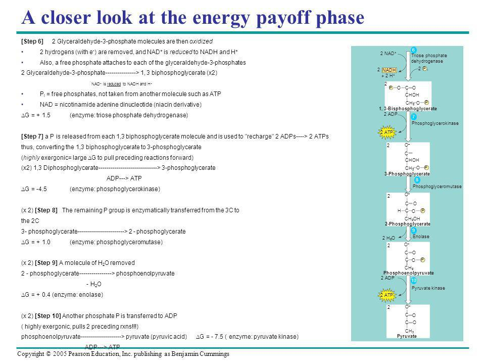 Copyright © 2005 Pearson Education, Inc. publishing as Benjamin Cummings A closer look at the energy payoff phase [Step 6] 2 Glyceraldehyde-3-phosphat