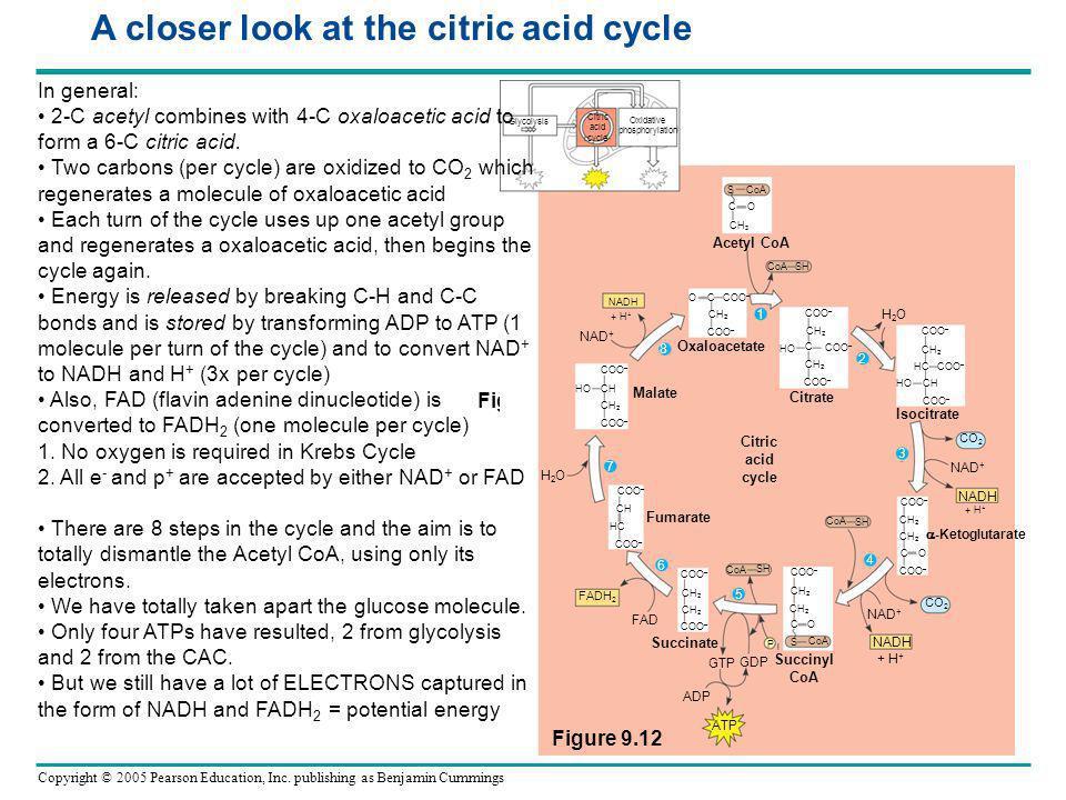 Copyright © 2005 Pearson Education, Inc. publishing as Benjamin Cummings Figure 9.12 Acetyl CoA NADH Oxaloacetate Citrate Malate Fumarate Succinate Su