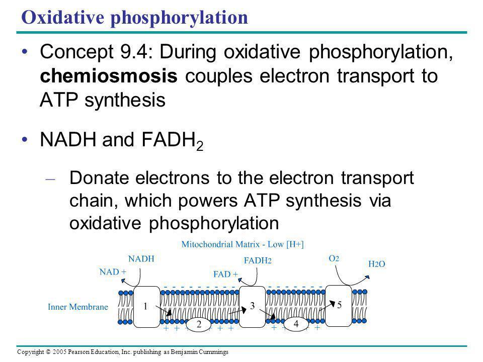 Copyright © 2005 Pearson Education, Inc. publishing as Benjamin Cummings Oxidative phosphorylation Concept 9.4: During oxidative phosphorylation, chem