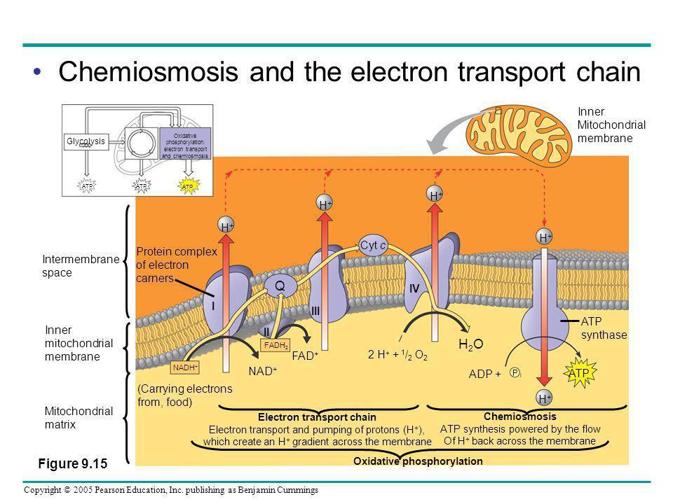 Copyright © 2005 Pearson Education, Inc. publishing as Benjamin Cummings Chemiosmosis and the electron transport chain Oxidative phosphorylation. elec