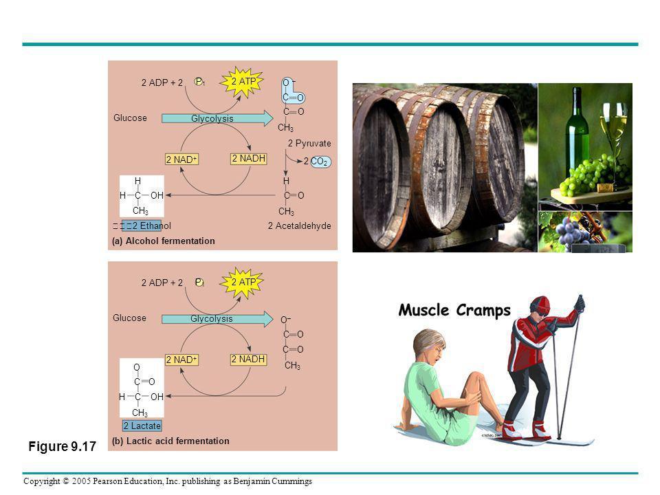 Copyright © 2005 Pearson Education, Inc. publishing as Benjamin Cummings 2 ADP + 2 P1P1 2 ATP Glycolysis Glucose 2 NAD + 2 NADH 2 Pyruvate 2 Acetaldeh