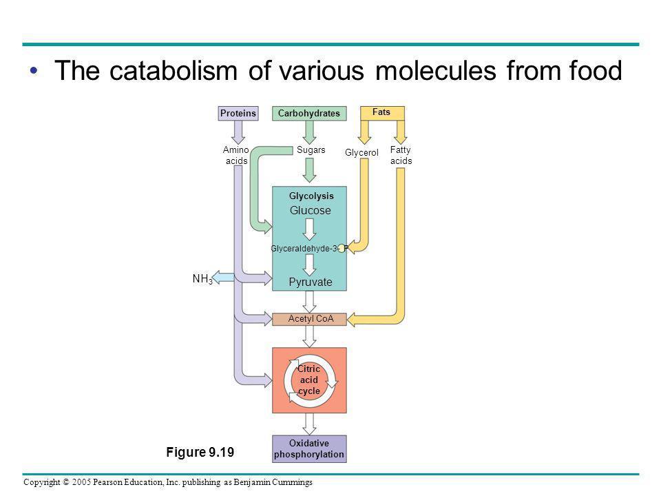 Copyright © 2005 Pearson Education, Inc. publishing as Benjamin Cummings The catabolism of various molecules from food Amino acids Sugars Glycerol Fat