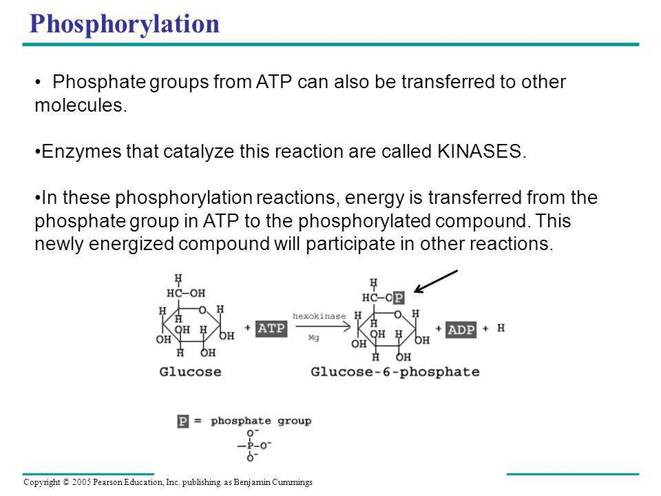 Copyright © 2005 Pearson Education, Inc. publishing as Benjamin Cummings Phosphorylation Phosphate groups from ATP can also be transferred to other mo