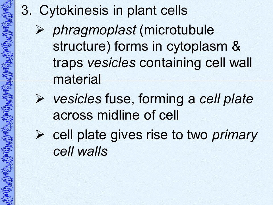 3.Cytokinesis in plant cells phragmoplast (microtubule structure) forms in cytoplasm & traps vesicles containing cell wall material vesicles fuse, for