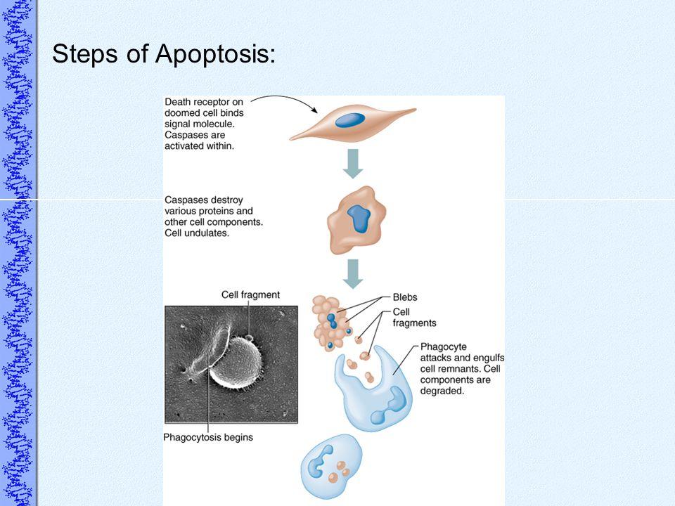 Steps of Apoptosis: