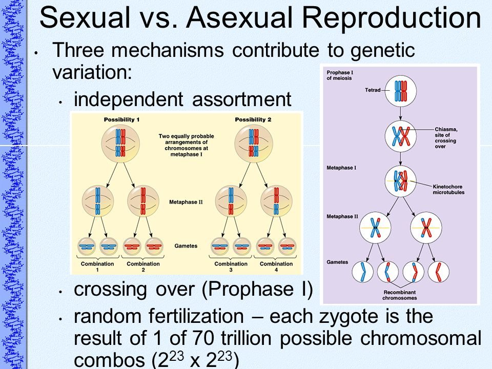 Sexual vs. Asexual Reproduction Three mechanisms contribute to genetic variation: independent assortment crossing over (Prophase I) random fertilizati