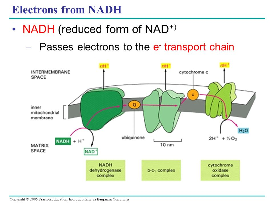 Copyright © 2005 Pearson Education, Inc. publishing as Benjamin Cummings Electrons from NADH NADH (reduced form of NAD +) – Passes electrons to the e