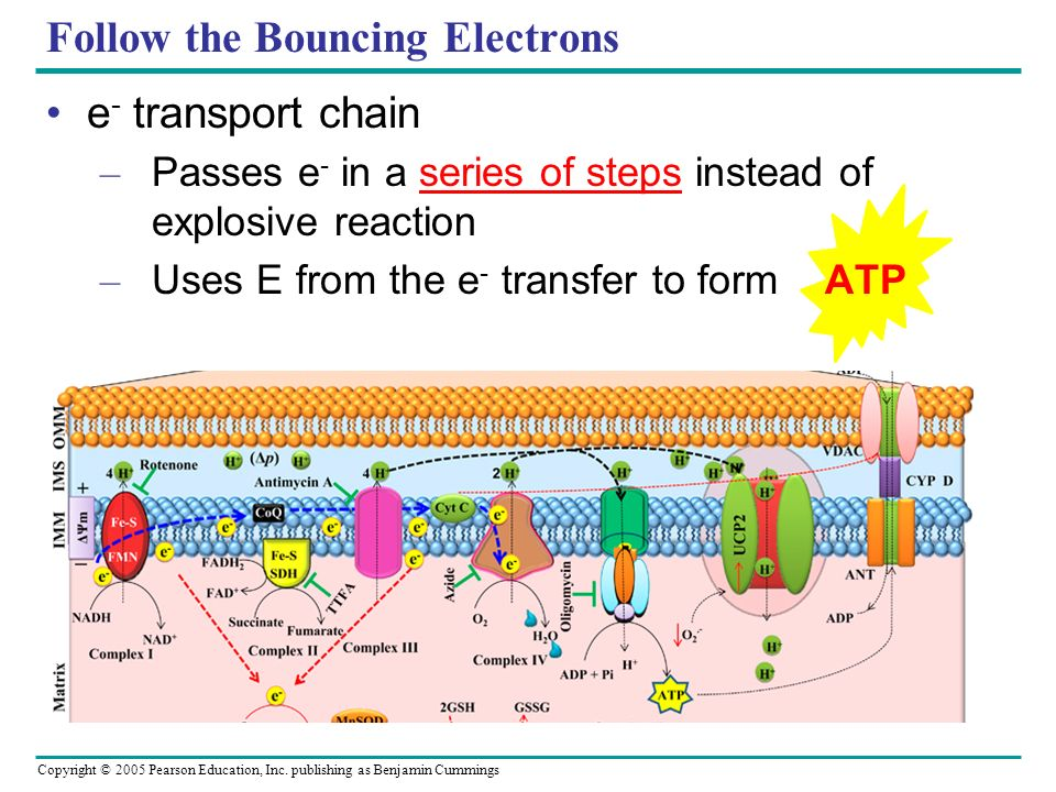 Copyright © 2005 Pearson Education, Inc. publishing as Benjamin Cummings Follow the Bouncing Electrons e - transport chain – Passes e - in a series of