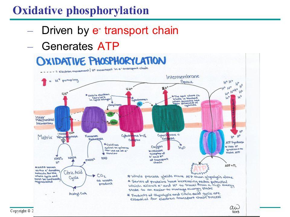 Copyright © 2005 Pearson Education, Inc. publishing as Benjamin Cummings Oxidative phosphorylation – Driven by e - transport chain – Generates ATP