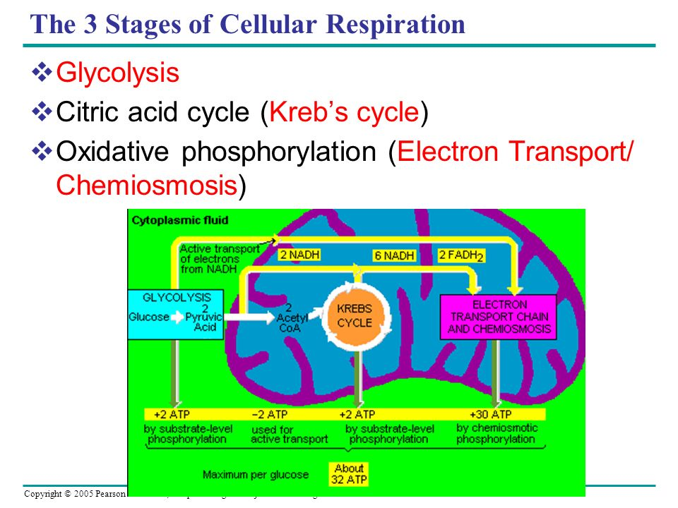 The 3 Stages of Cellular Respiration Glycolysis Citric acid cycle (Krebs cycle) Oxidative phosphorylation (Electron Transport/ Chemiosmosis)