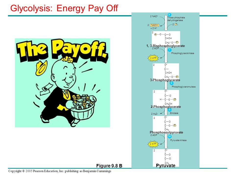 Copyright © 2005 Pearson Education, Inc. publishing as Benjamin Cummings 2 NAD + NADH 2 + 2 H + Triose phosphate dehydrogenase 2 P i 2 P C CHOH O P O
