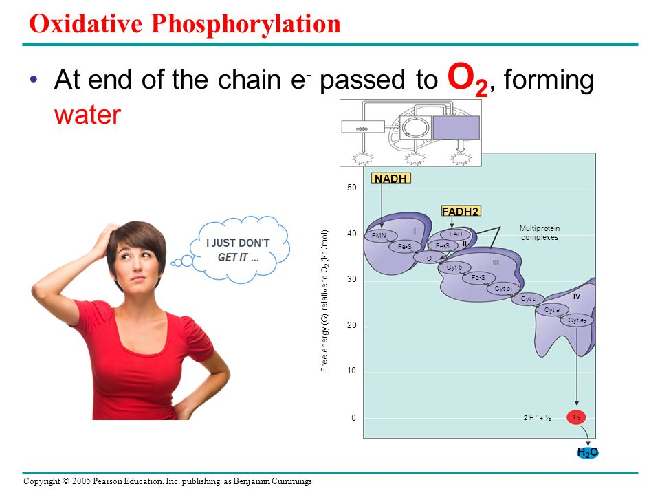 Copyright © 2005 Pearson Education, Inc. publishing as Benjamin Cummings Oxidative Phosphorylation At end of the chain e - passed to O 2, forming wate