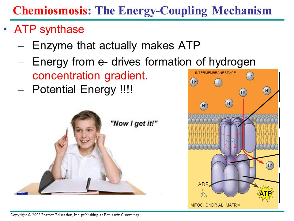 Copyright © 2005 Pearson Education, Inc. publishing as Benjamin Cummings Chemiosmosis: The Energy-Coupling Mechanism ATP synthase – Enzyme that actual