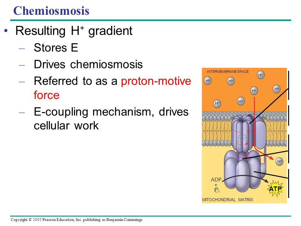 Copyright © 2005 Pearson Education, Inc. publishing as Benjamin Cummings Chemiosmosis Resulting H + gradient – Stores E – Drives chemiosmosis – Referr