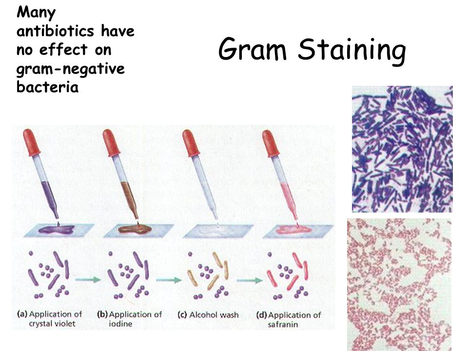 Gram Staining Many antibiotics have no effect on gram-negative bacteria