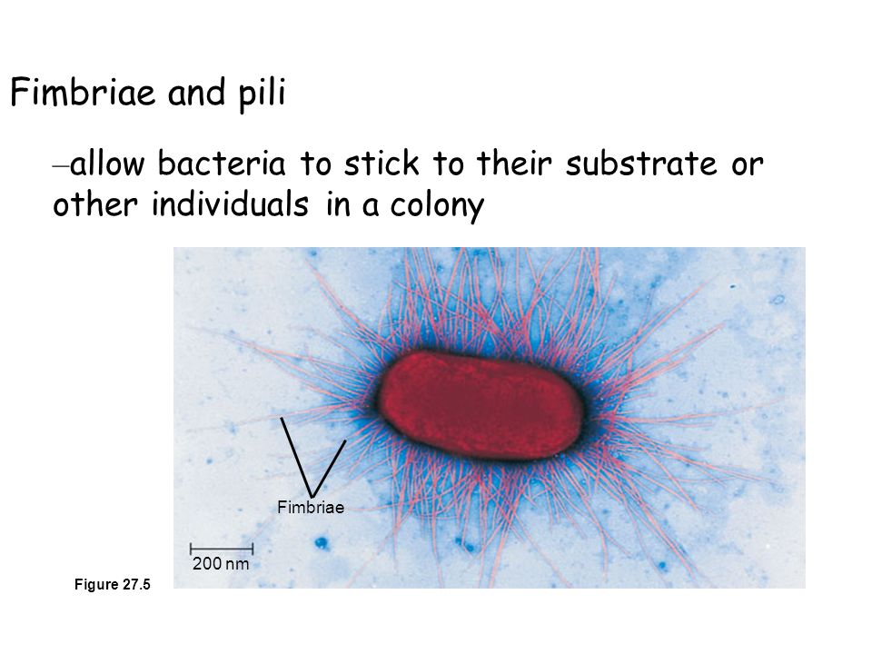 200 nm Fimbriae Figure 27.5 Fimbriae and pili – allow bacteria to stick to their substrate or other individuals in a colony