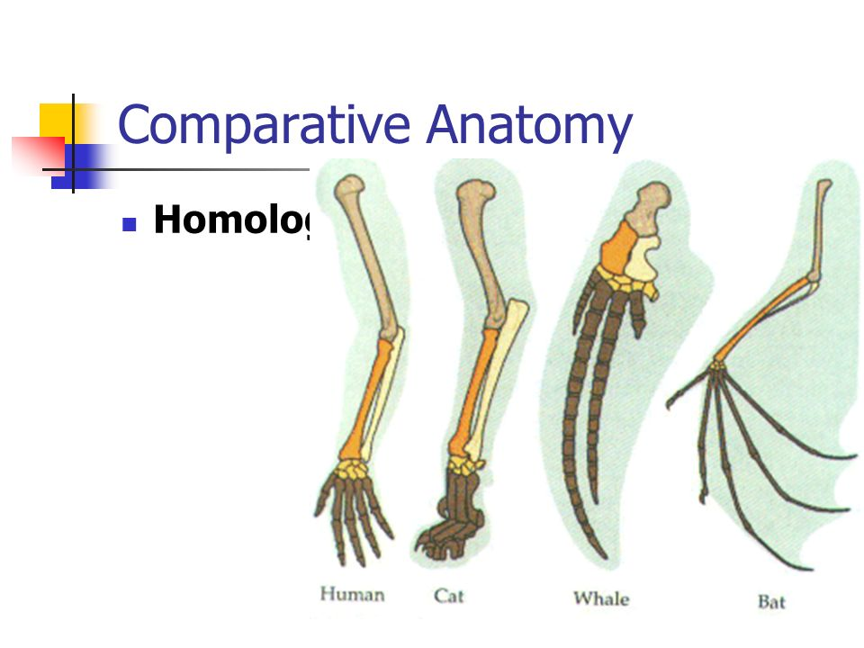 Comparative Anatomy Homologous