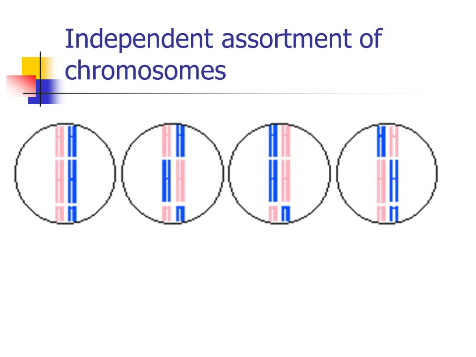 Independent assortment of chromosomes
