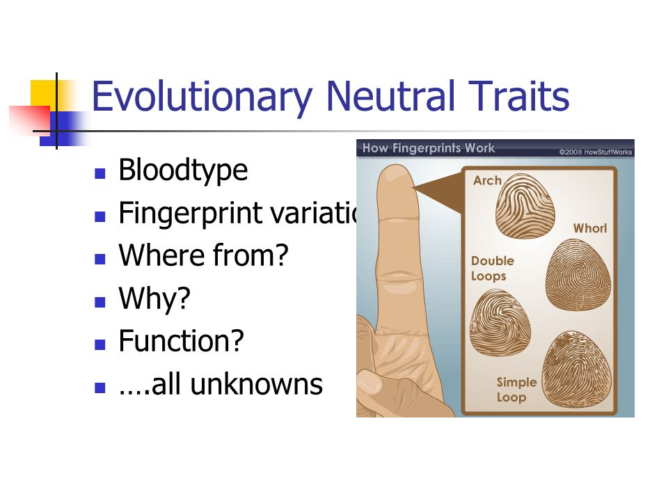 Evolutionary Neutral Traits Bloodtype Fingerprint variation Where from? Why? Function? ….all unknowns