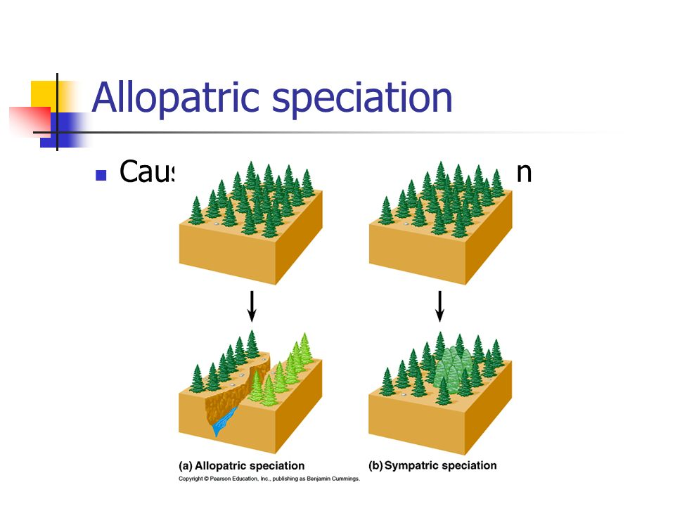 Allopatric speciation Caused by geographic isolation