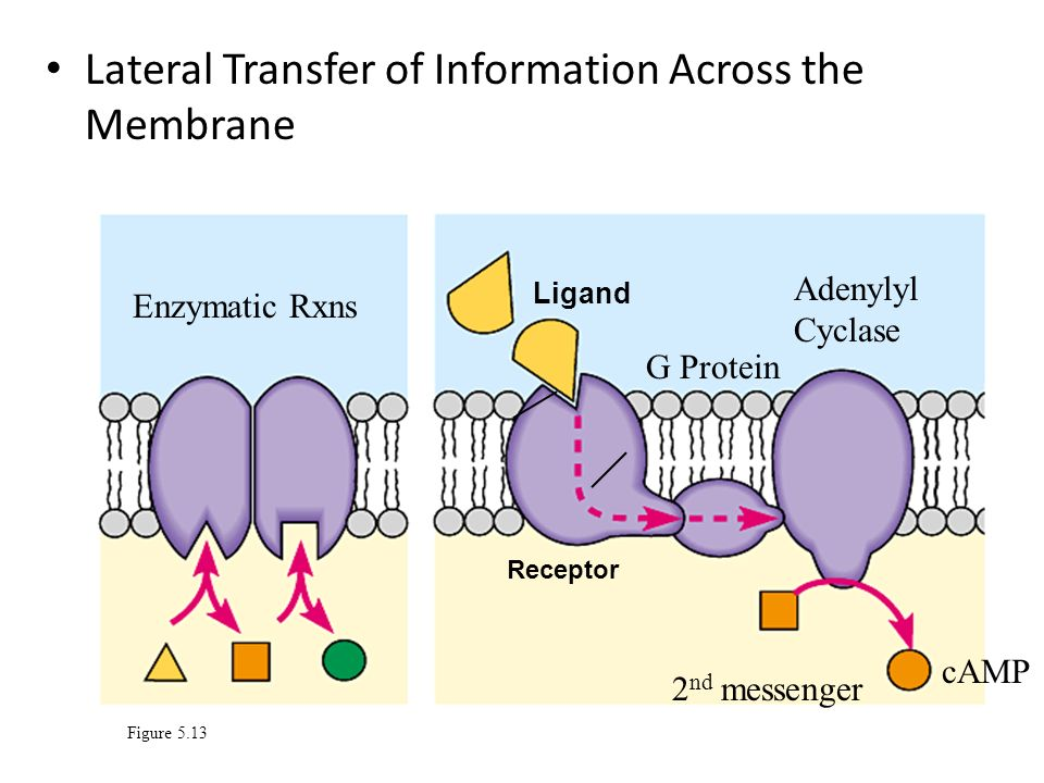 Lateral Transfer of Information Across the Membrane Figure 5.13 Ligand Receptor Enzymatic Rxns G Protein Adenylyl Cyclase 2 nd messenger cAMP