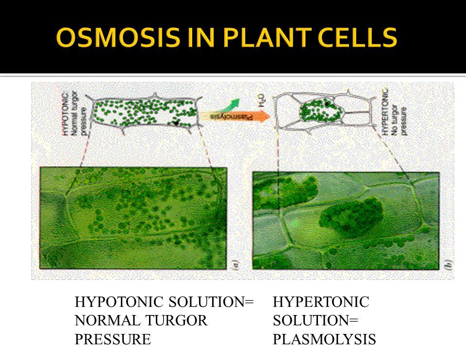 HYPERTONIC SOLUTION= PLASMOLYSIS HYPOTONIC SOLUTION= NORMAL TURGOR PRESSURE