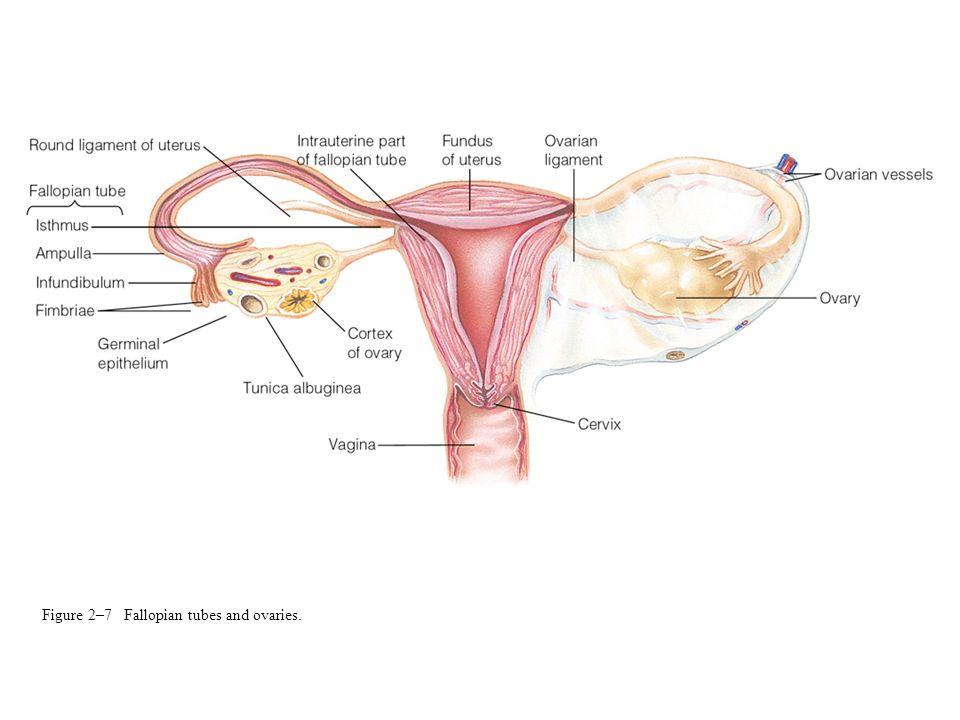 Figure 2–7 Fallopian tubes and ovaries.